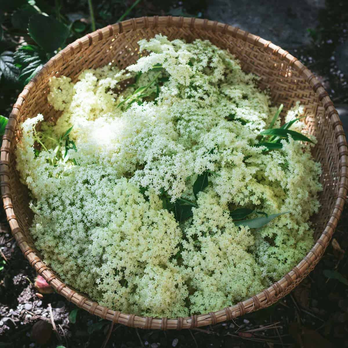 a basket of harvested elderflowers