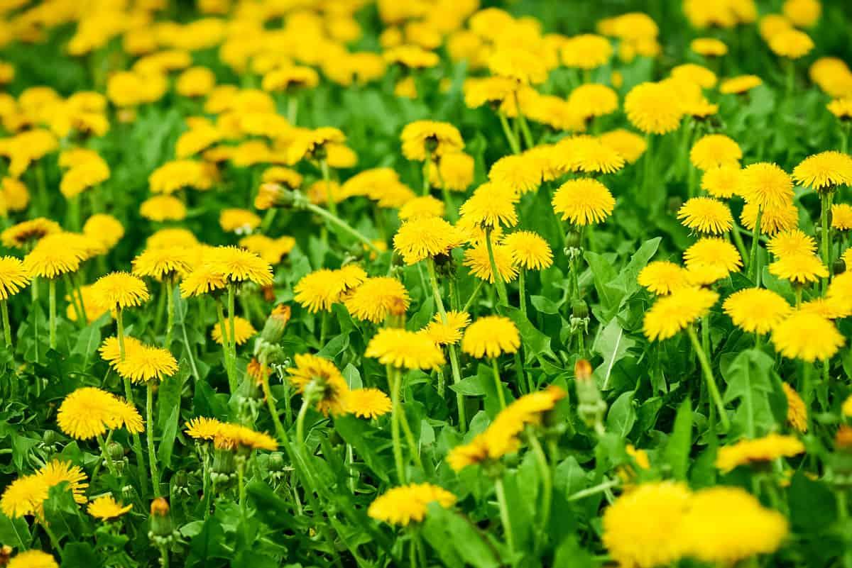 a grassy lawn full of dandelions