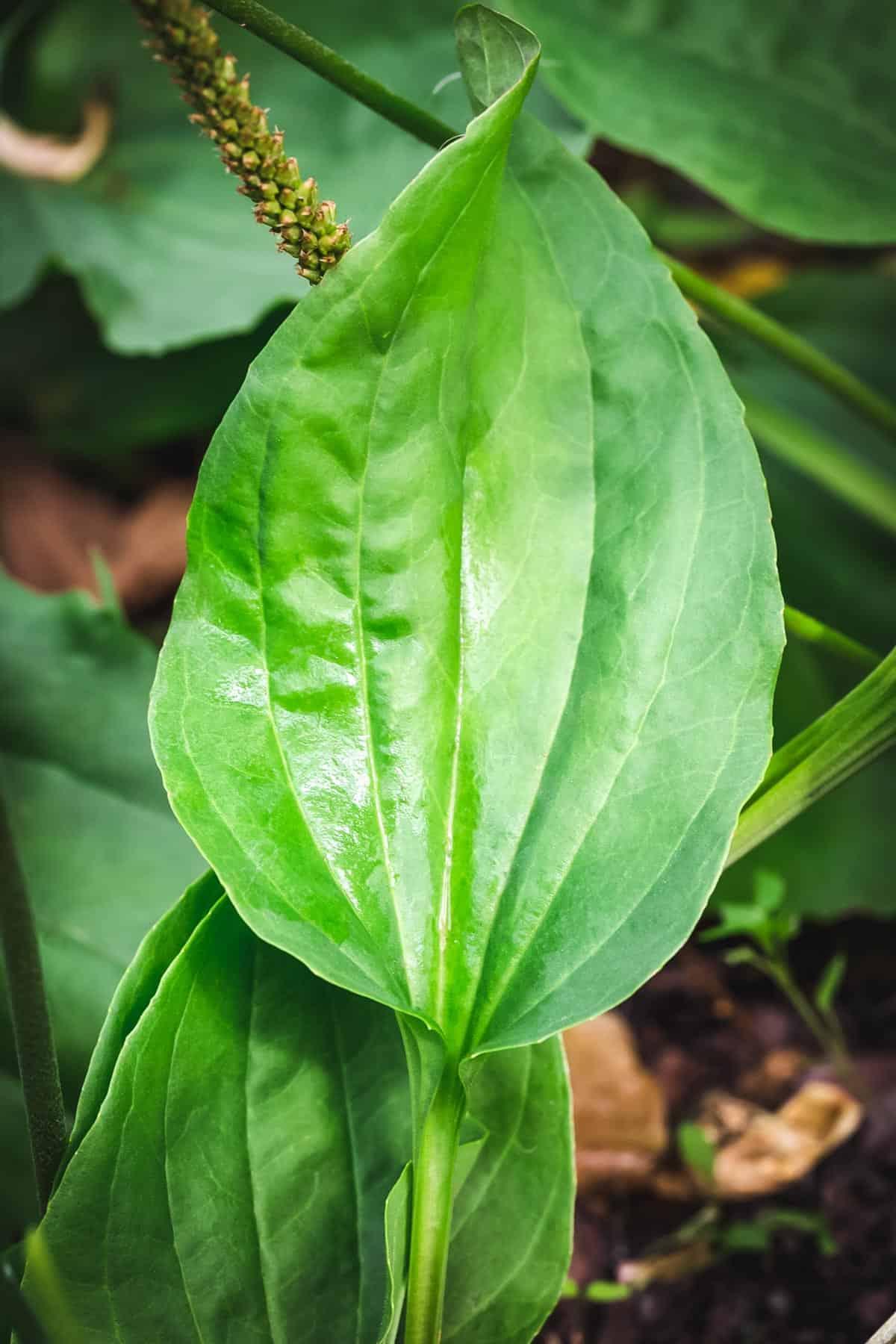 close up of broadleaf plantain leaf