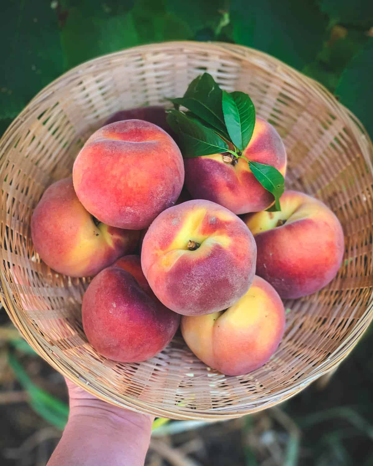 a basket of fresh peaches