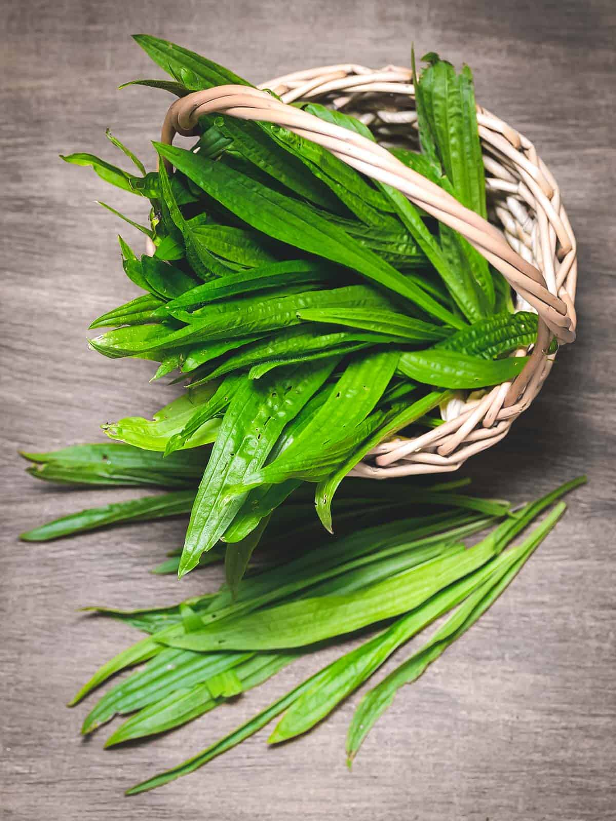 a harvest basket full of narrowleaf plantain