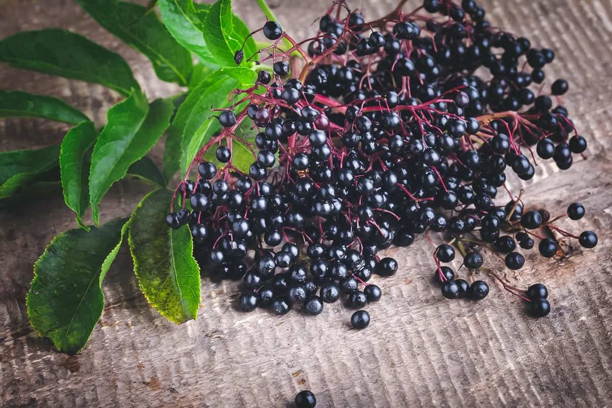 a cluster of black elderberries