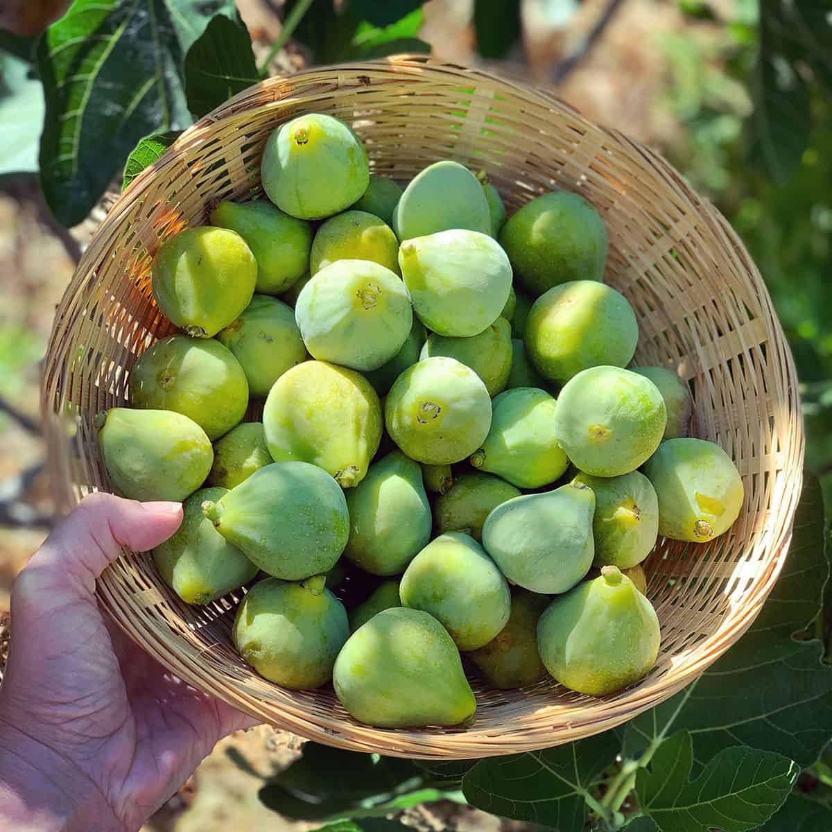 a basket of fresh green figs