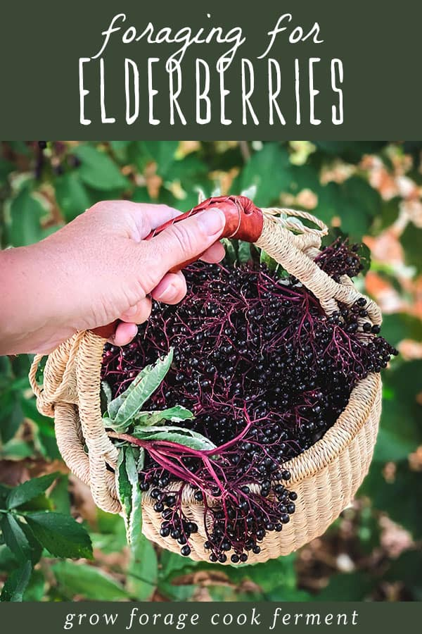 a hand holding a foraging basket full of black elderberries