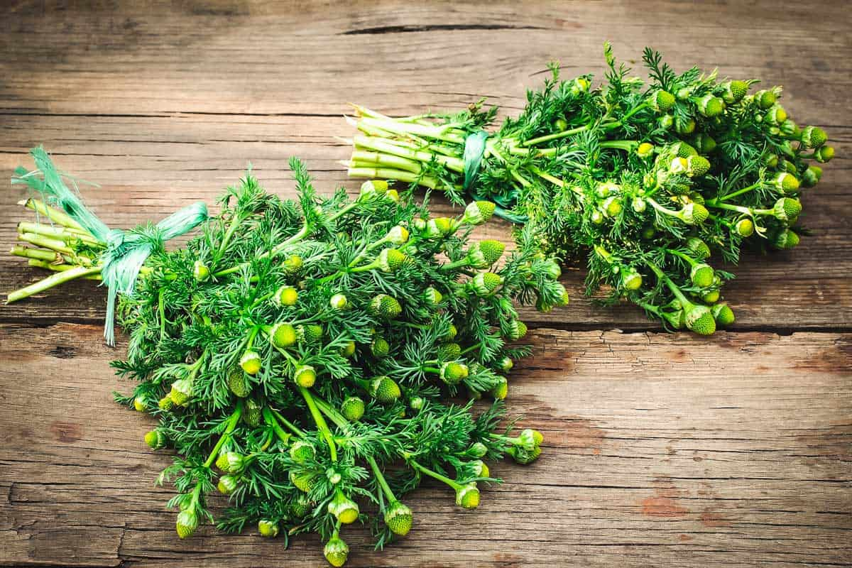 two bunches of pineapple weed on a wooden table