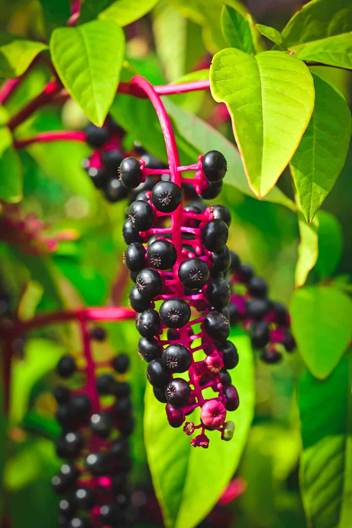 toxic pokeweed and pokeberries