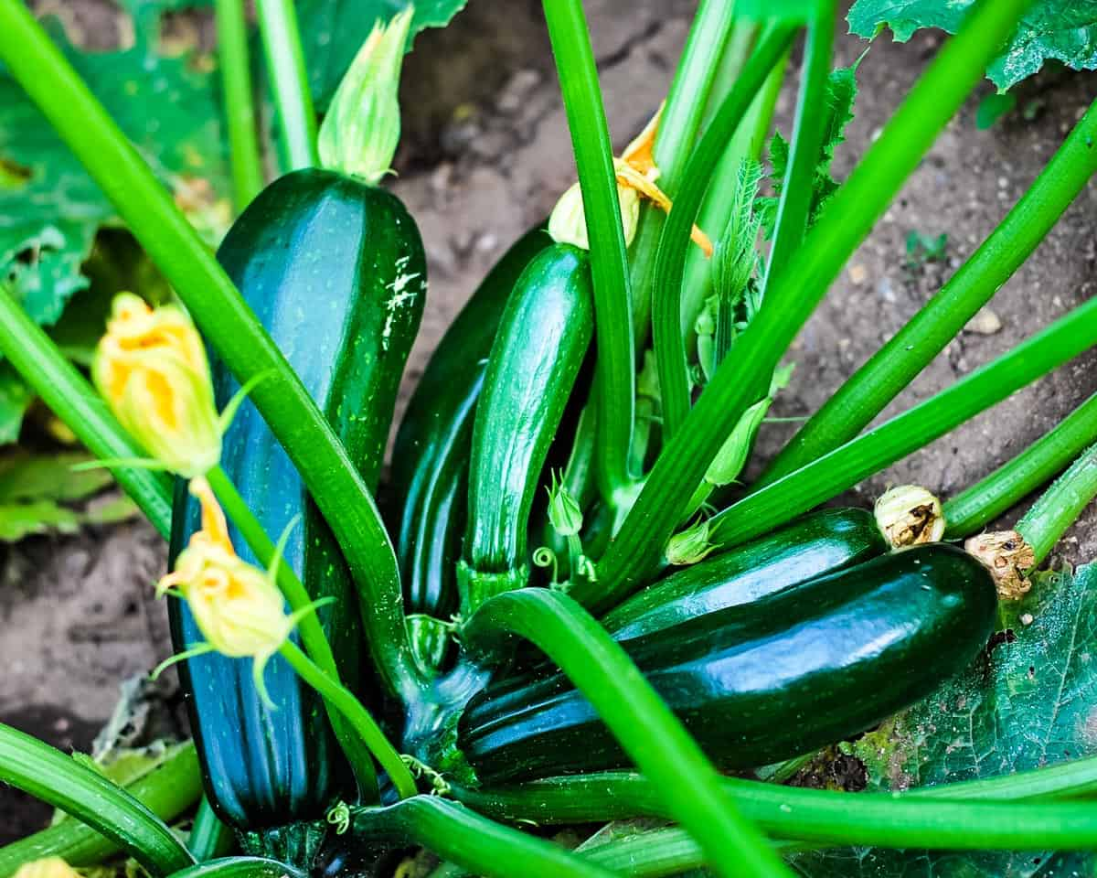 many zucchini growing in a garden