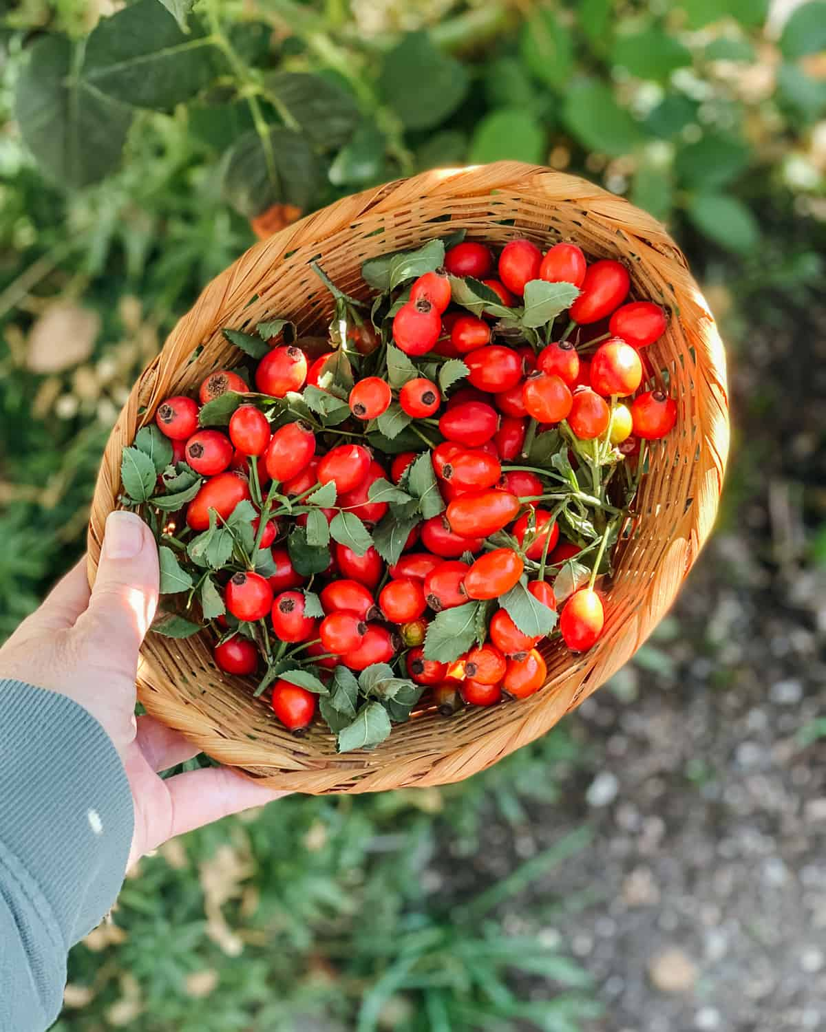 a hand holding a basket of fresh foraged rose hips