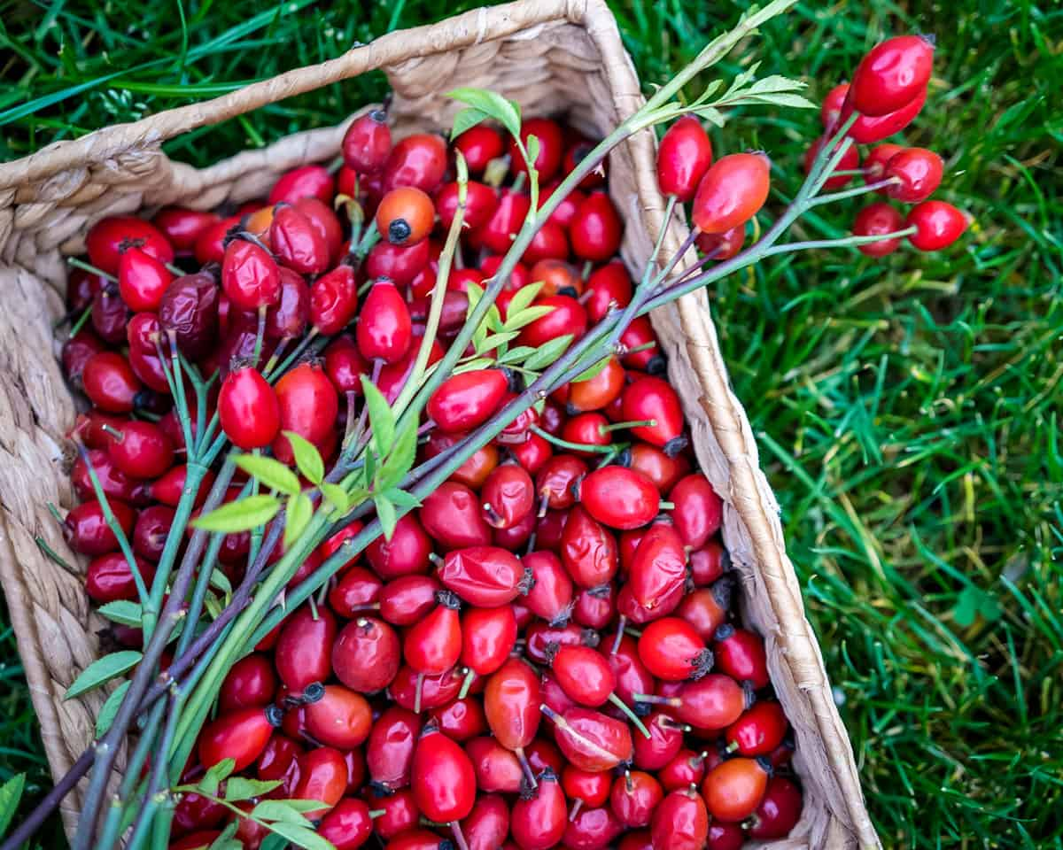 a basket of foraged rose hips sitting on the grass