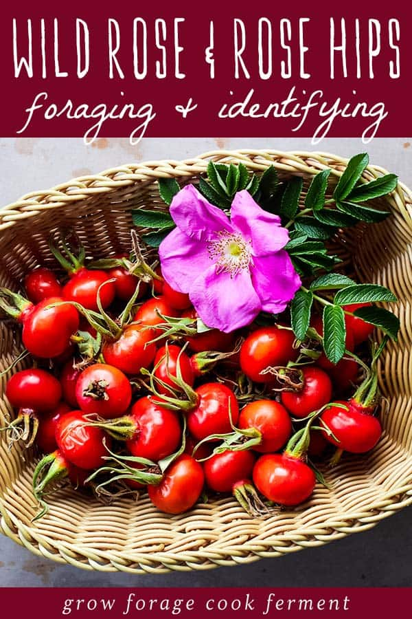 foraging basket of wild rose and rose hips