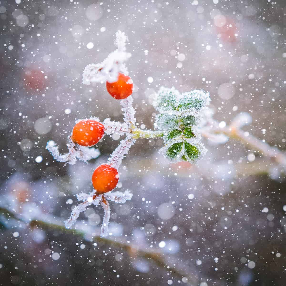 snow falling on rose hips