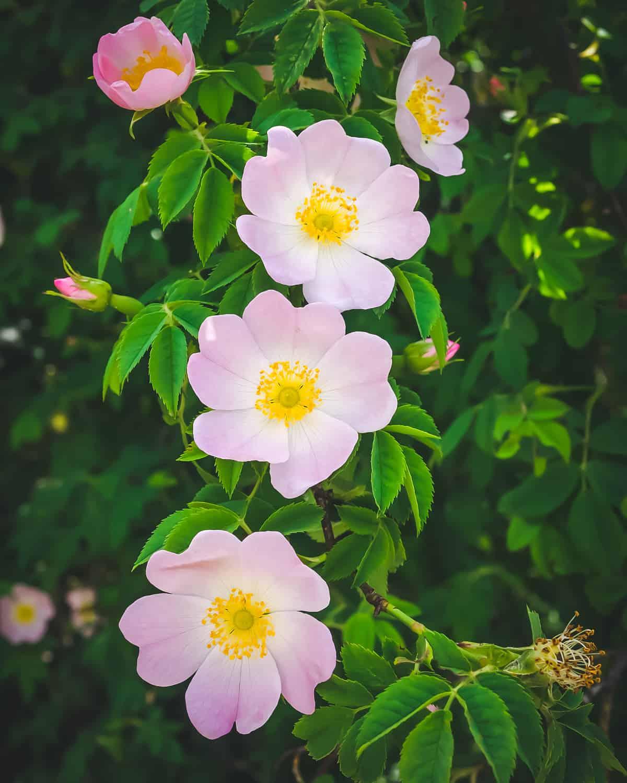 three pink wild rose flowers in bloom