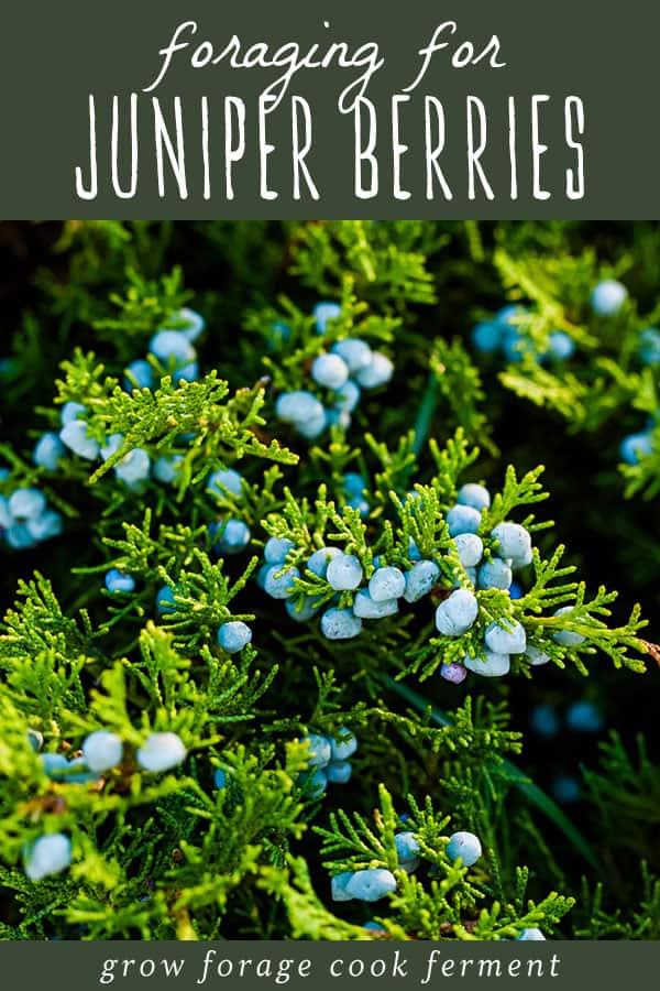 foraging for wild edible and medicinal juniper berries