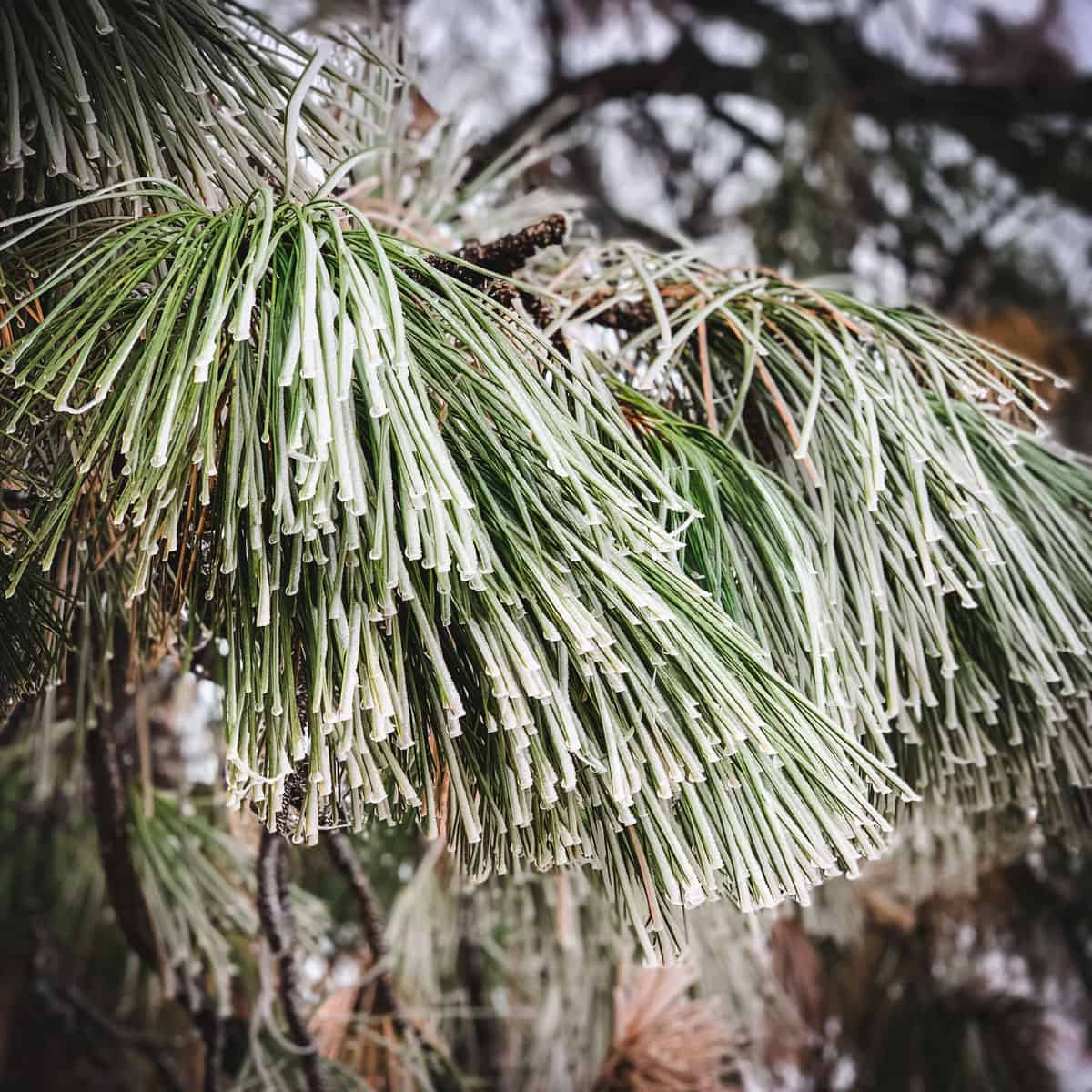 frost covered pine needles