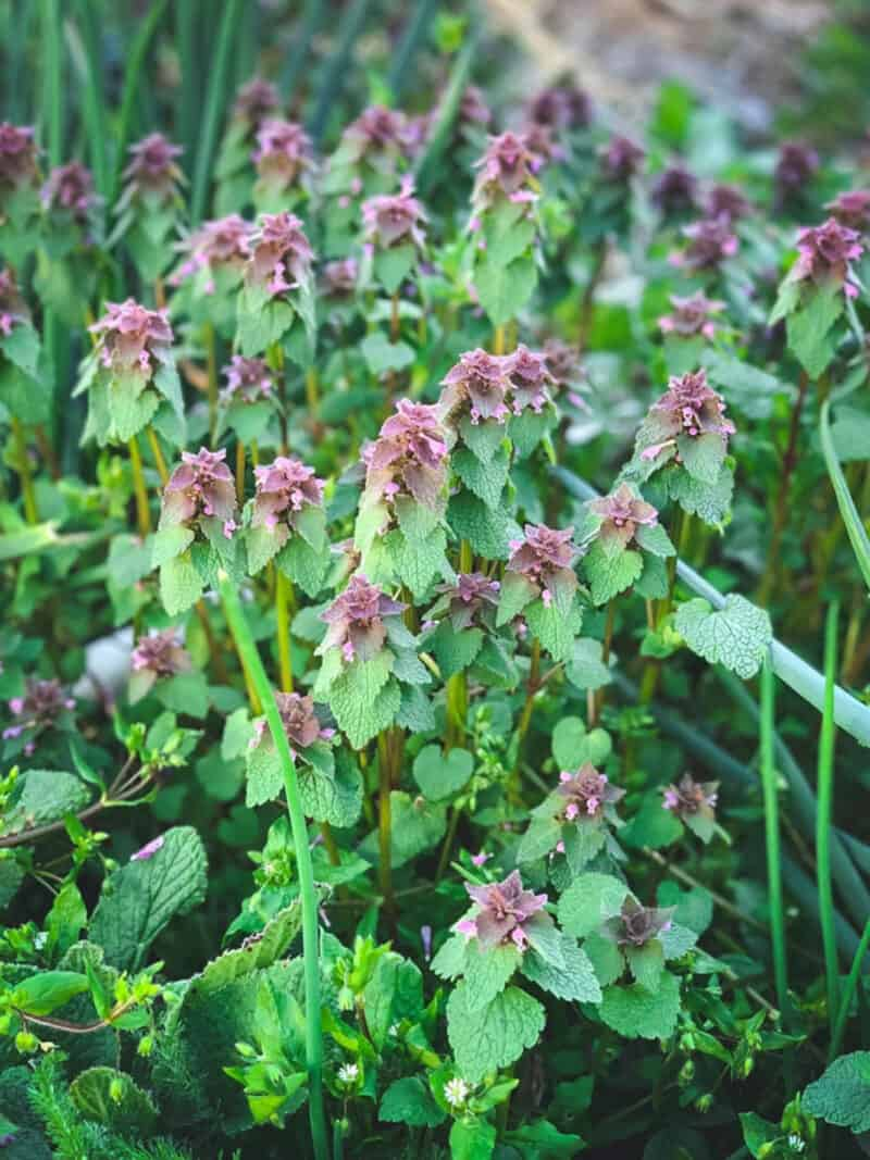 foraging a patch of edible purple dead nettle plant