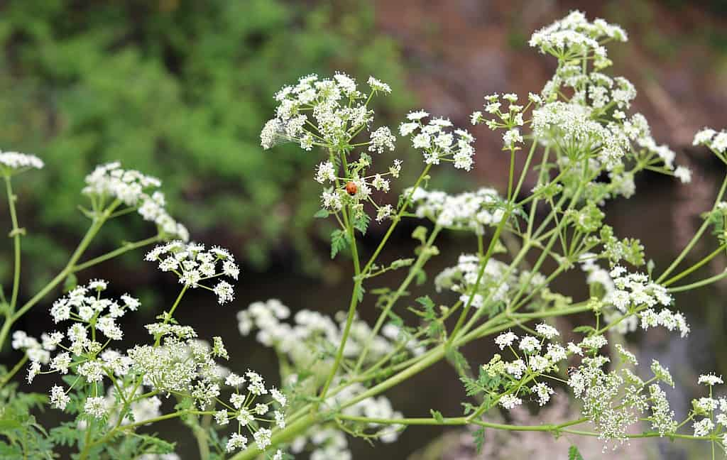 poison hemlock flowers