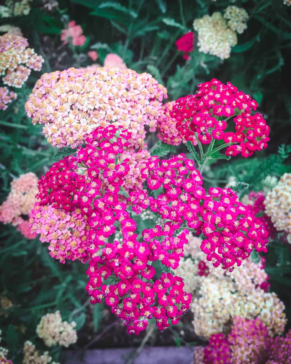 yarrow with light and dark pink flowers
