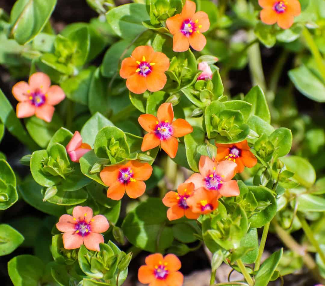 scarlett pimpernel plant with reddish orange flowers