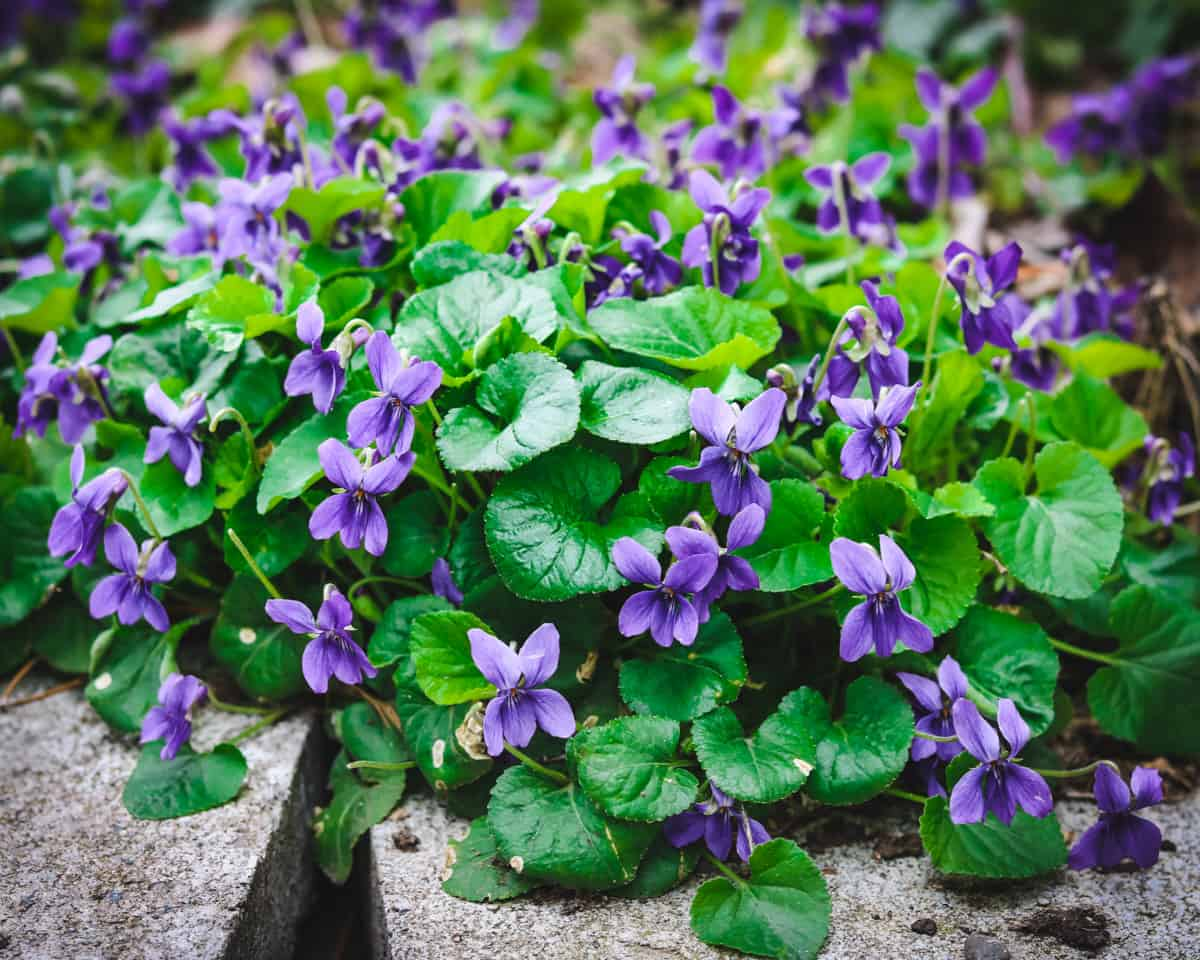 a patch of wild violets