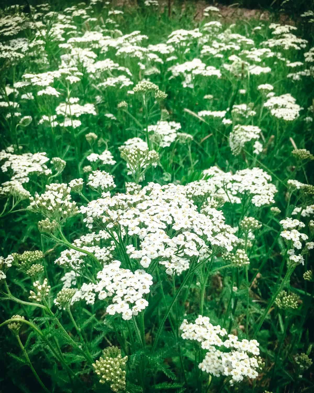 a field of yarrow plants
