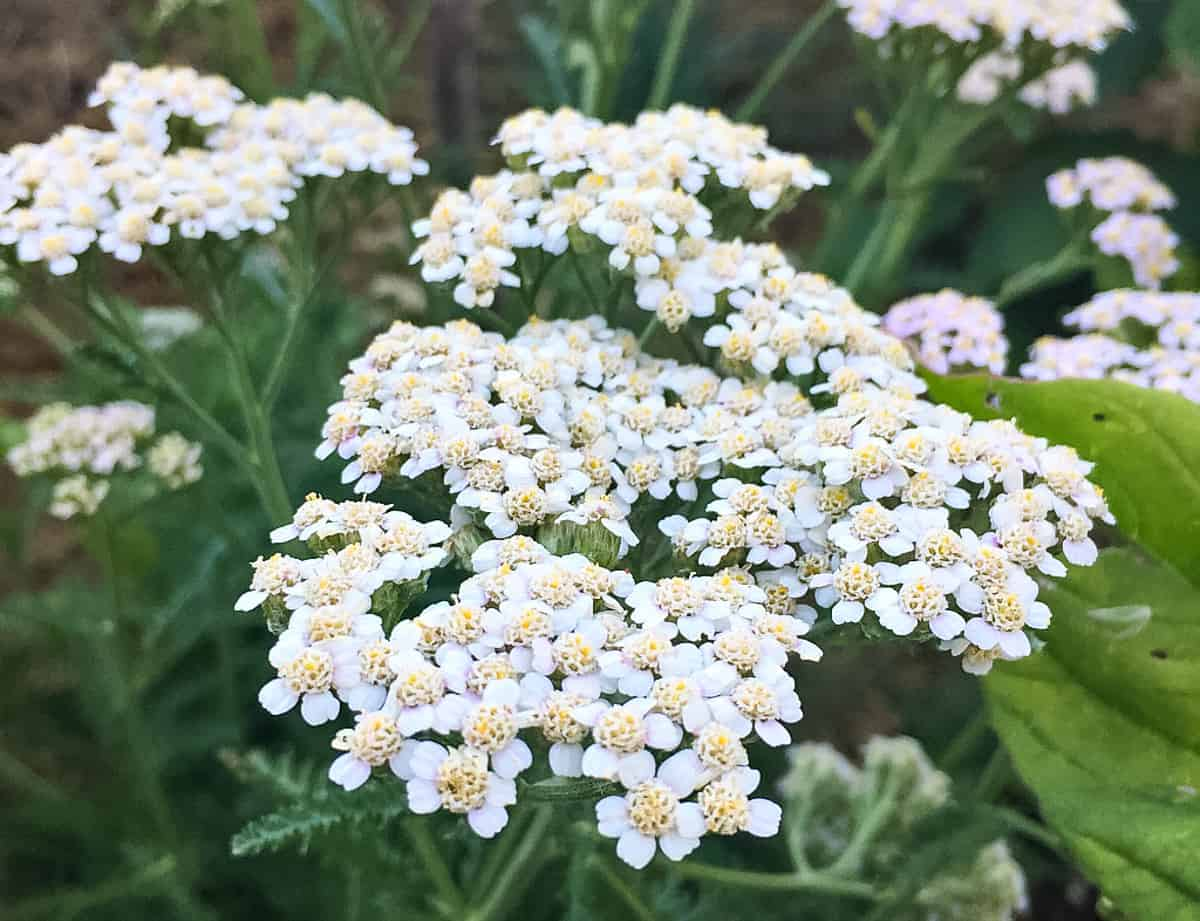 a close up of a white yarrow flower
