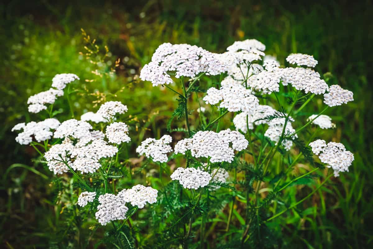 a small patch of yarrow flowers