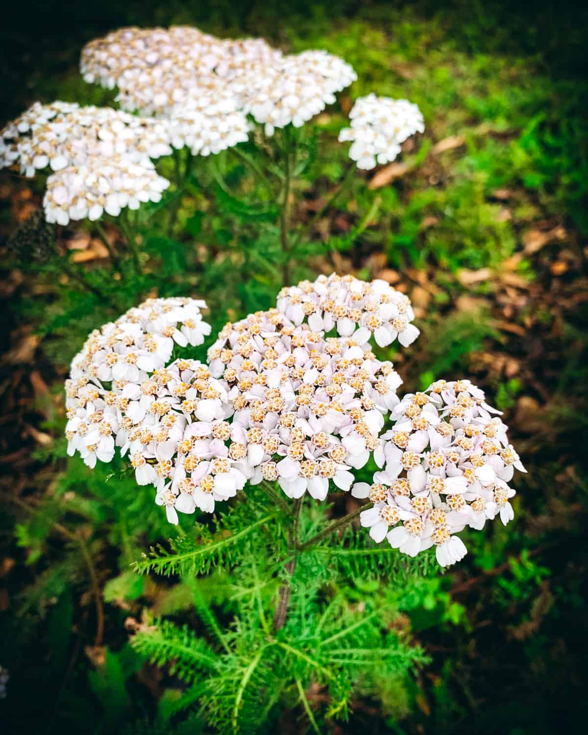 a yarrow plant with white flowers