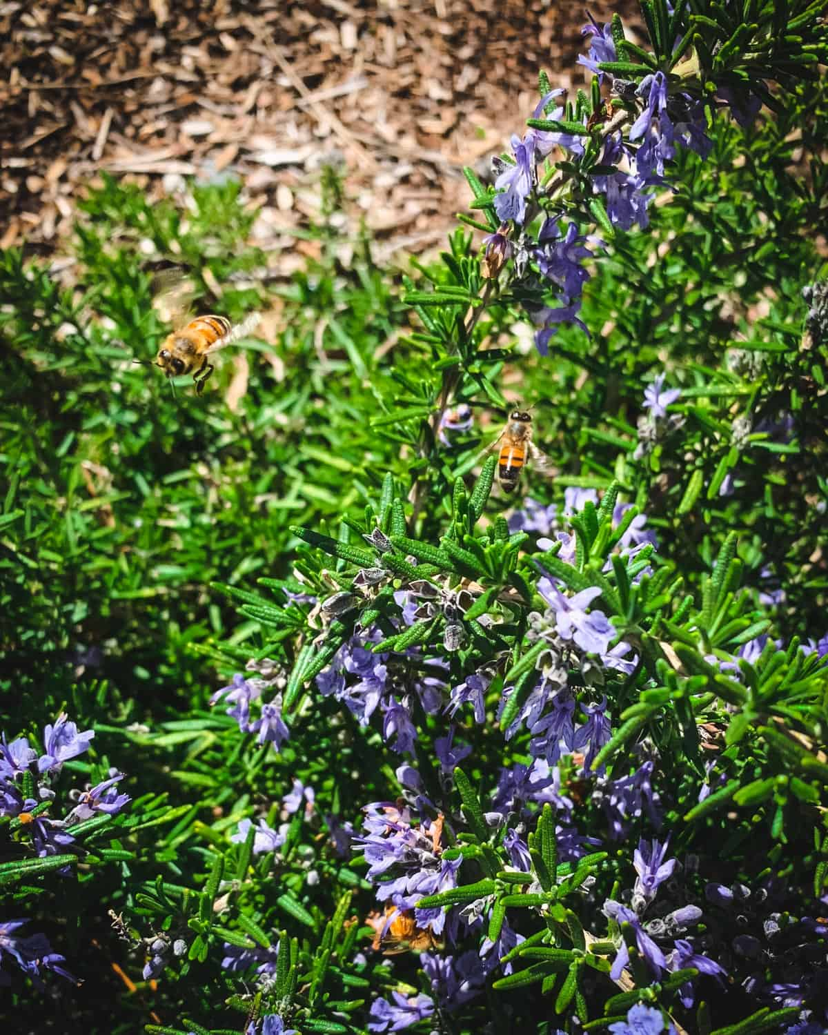 a rosemary plant with several honey bees