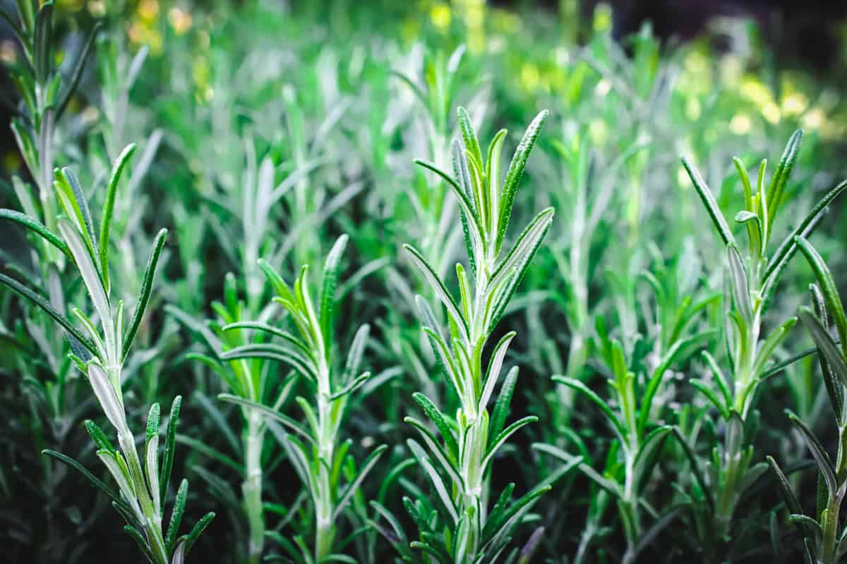 rosemary growing outside