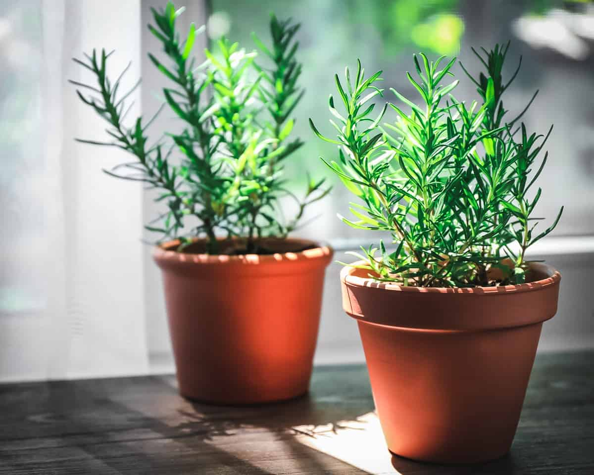 two pots of rosemary indoors on a windowsill
