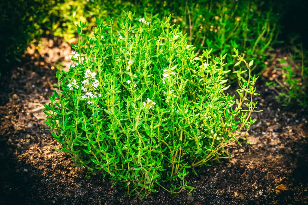 a thyme plant growing in a garden