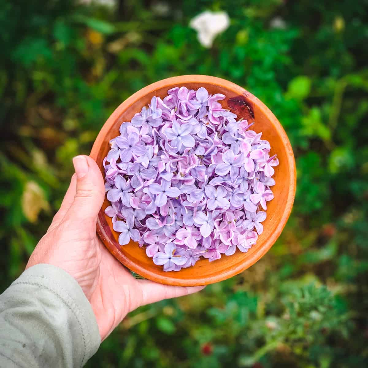 a hand holding a bowl of freshly picked lilac flowers