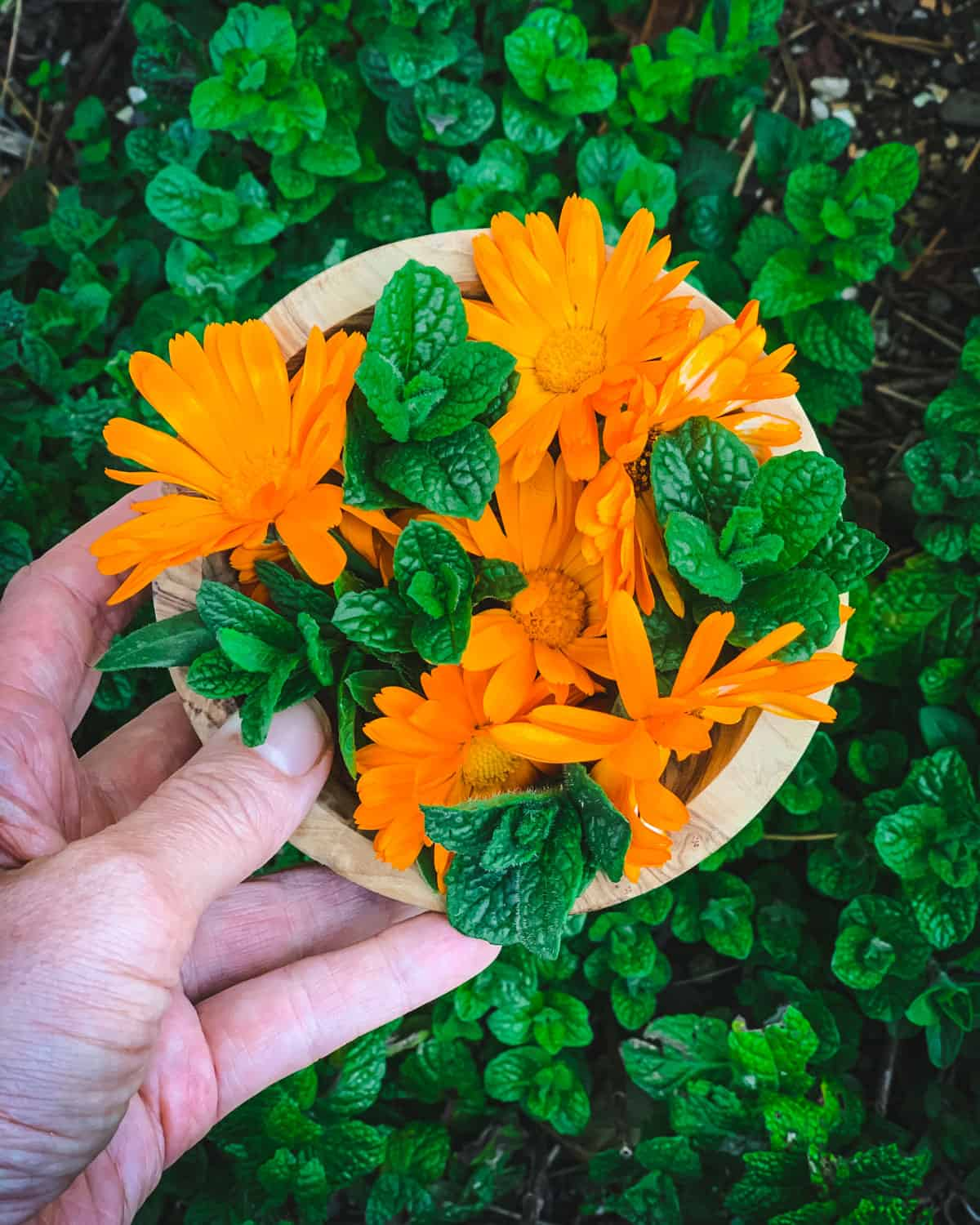 a hand holding a bowl of fresh calendula flowers and mint