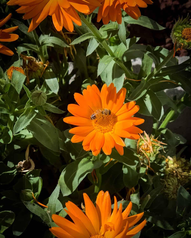 a bee on a calendula flower