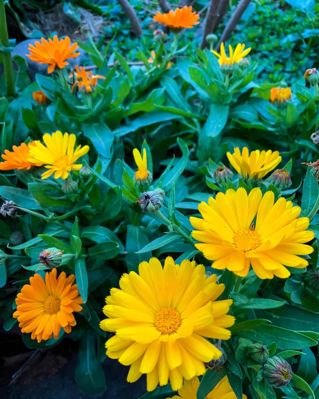 yellow and orange calendula flowers in the garden