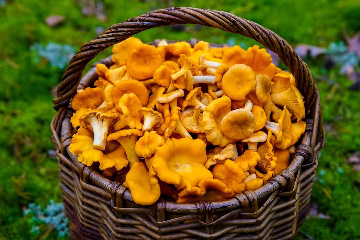 a basket full of freshly harvested chanterelle mushrooms