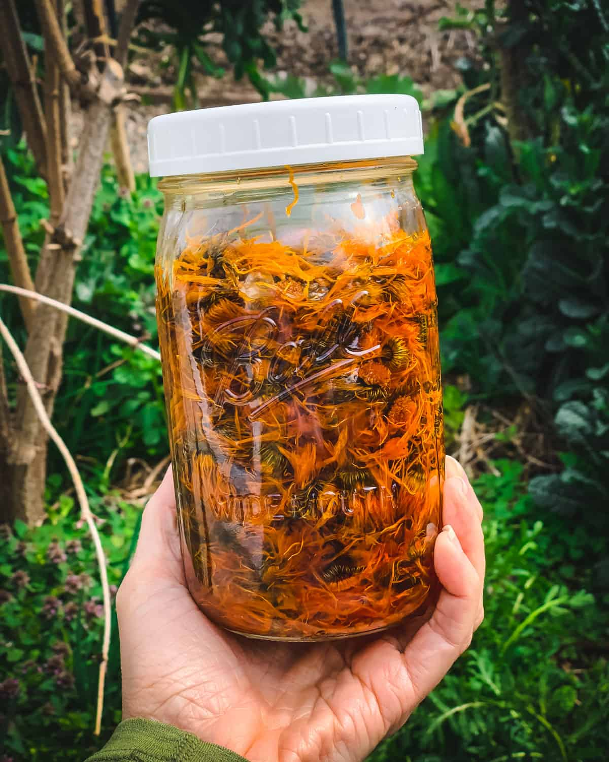 a hand holding a quart jar of calendula flowers infusing in oil