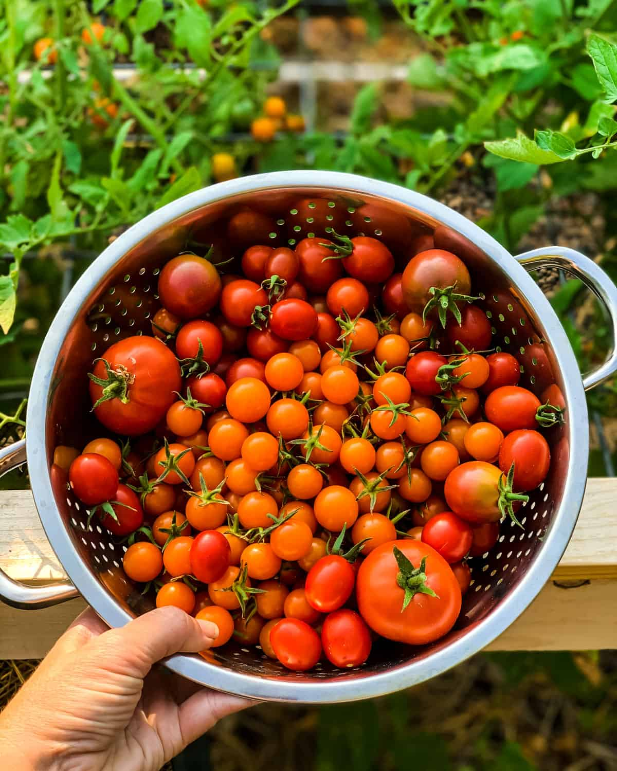 a hand holding a colander of freshly picked cherry tomatoes